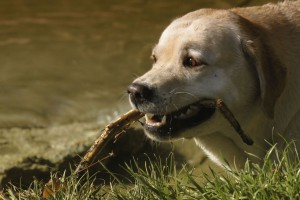 Goldener Labrador mit Stock im Maul