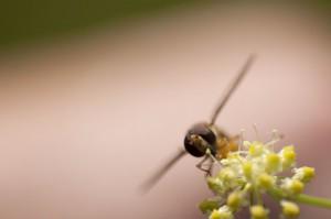 Sturzflug Biene