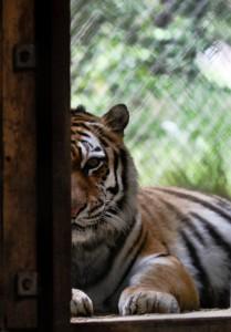 halber Tigerkopf