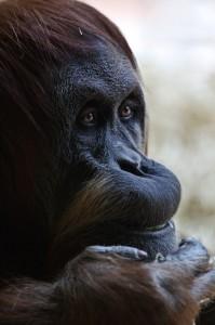 Affe beim nachdenken