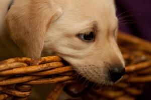 weißer Labradorwelpe der in einen Korb beißt