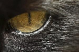 Auge eines Katers